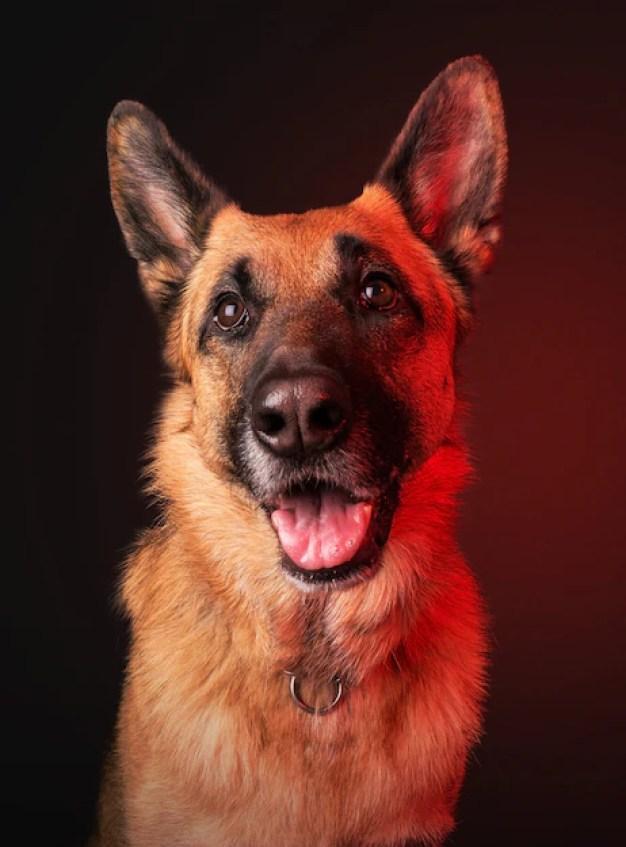 Pastor alemão cães que vivem menos tempo