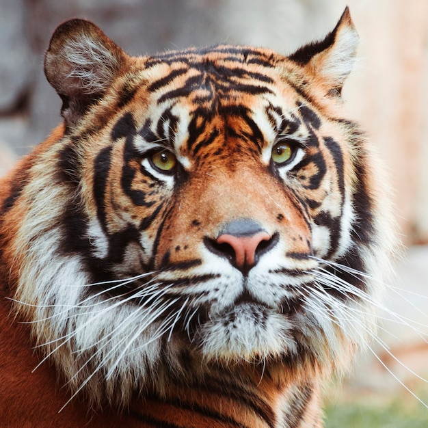 Tigre representando primeira contaminação animal de coronavírus nos EUA