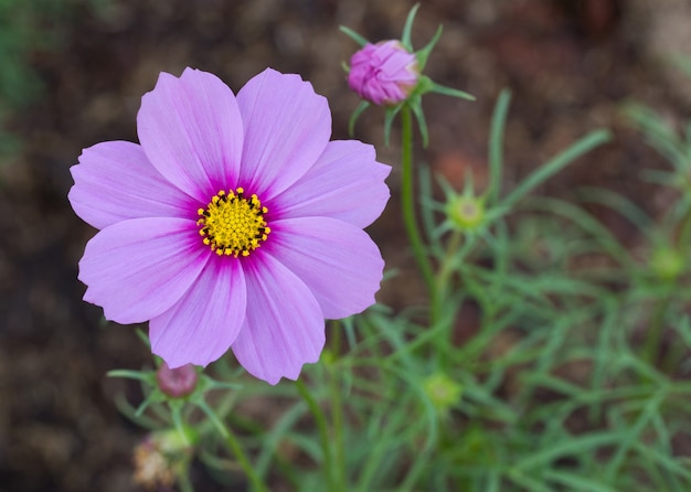 Blue cosmos flowers Photo   Free Download Blue cosmos flowers Free Photo