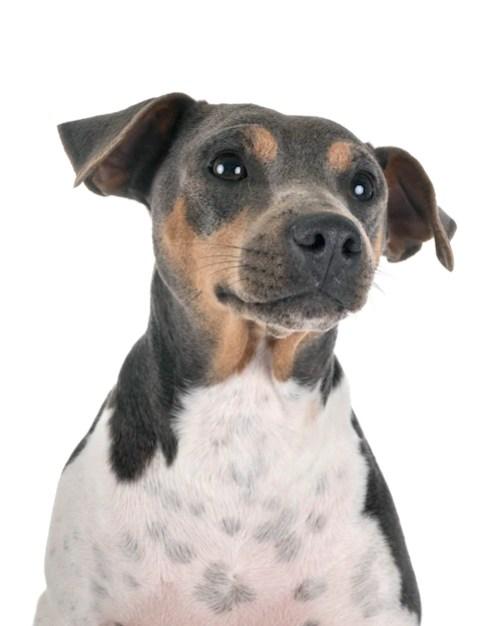 Terrier brasileiro ou Fox paulistinha em fundo branco