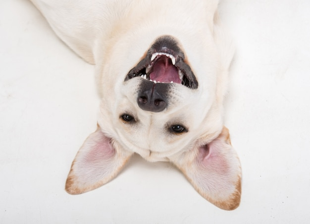 Close-up muzzle of cute dog labrador. Premium Photo