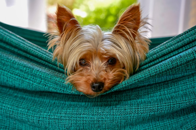 Cute tiny yorkshire dog resting on a hammock Premium Photo