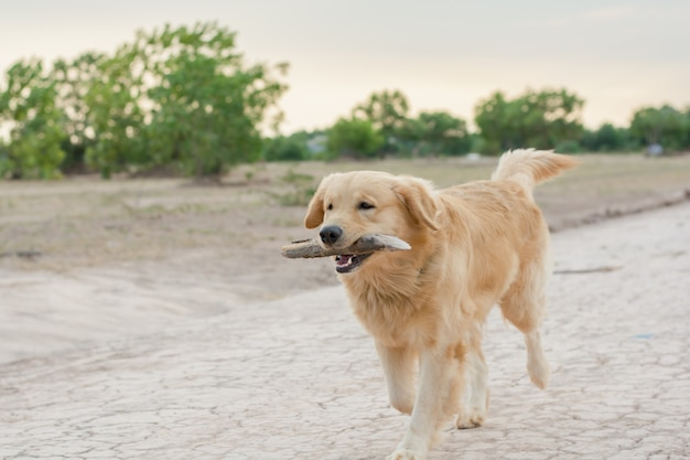 Golden retriever playing outdoor with wooden stick Premium Photo