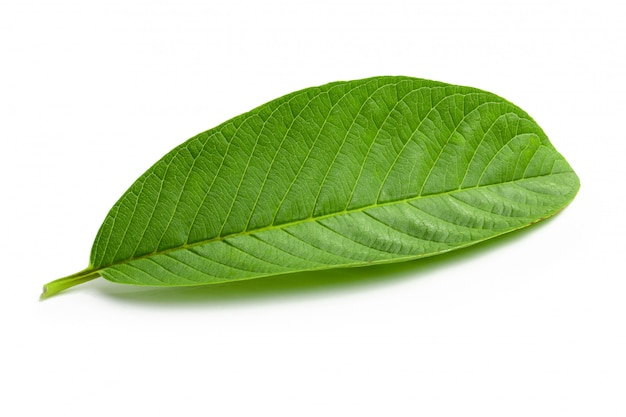 Top 20 Health Benefits of Guava Leaves (Part 2) leaf