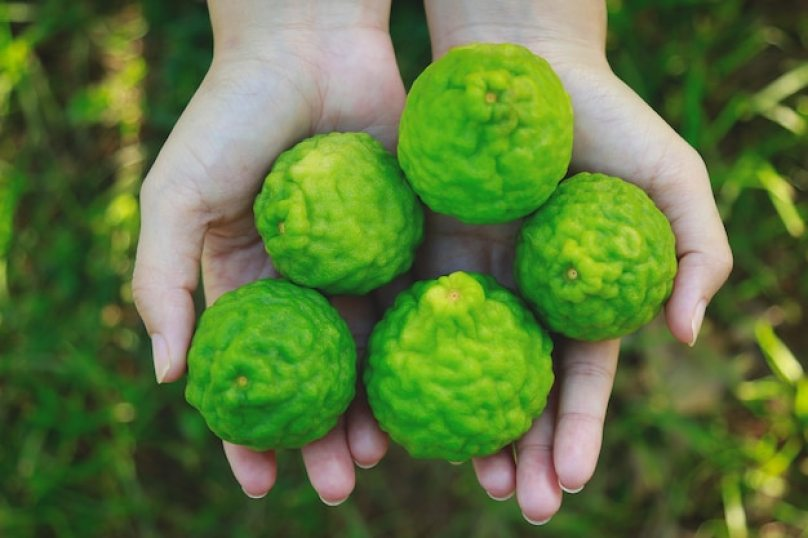 Hand girl holding bergamot or kaffir herb for healthy lifestyle Premium Photo