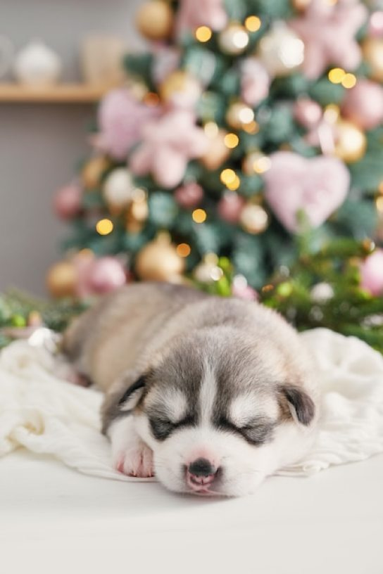 Happy christmas dog, husky newborn puppy.