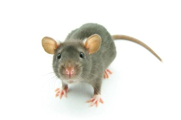 Little grey mouse Premium Photo