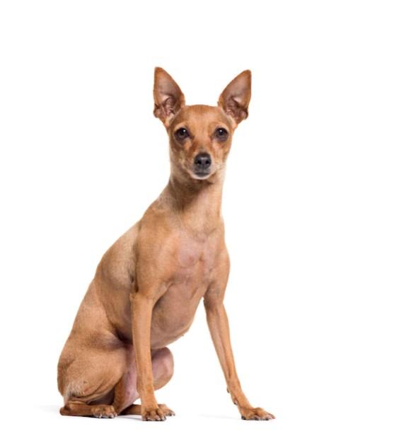 Pinscher marrom em fundo branco menores raças de cachorro