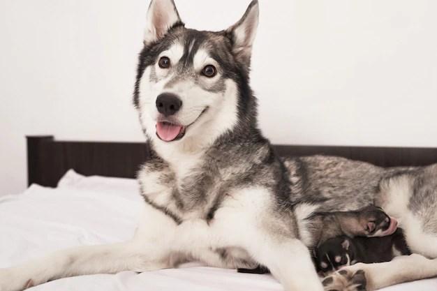 Newborn siberian husky puppy age of 1 days. husky dog breeding. concept of veterinary medicine, zoo clinic, veterinary clinic. dog puppies sleep. zoo hotel. animal hotel. husky dog with puppies Premium Photo