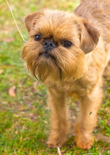 Griffon de Bruxelas em gramado menores raças de cachorros
