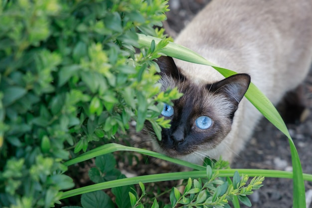 Siamese cat hunts from behind green bushes in the garden Premium Photo