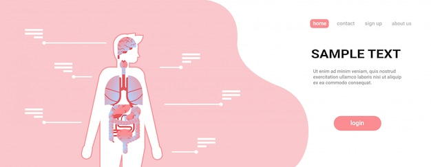 Premium Vector Major Human Body Internal Organs Inside Anatomical