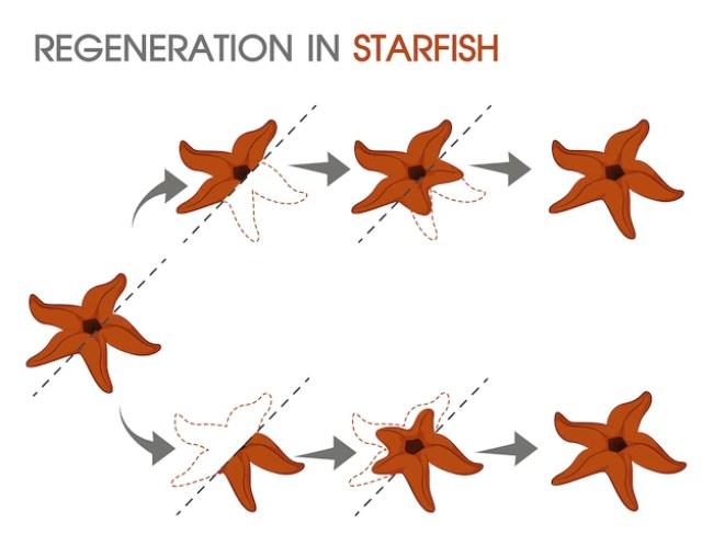 Regeneración en estrella de mar. | Vector Premium