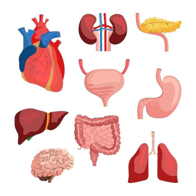 Ilustração de conjunto de órgãos internos, como coração, pulmões e rins