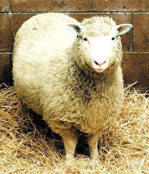 Oaia Dolly, primul mamifer clonat in 1996.
