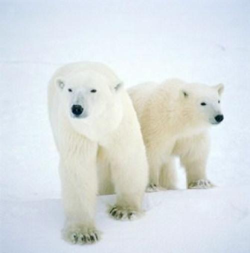 Sepasang beruang Kutub ini harus melintasi 1/2 bola dunia untuk mencapai bahtera Nabi Nuh