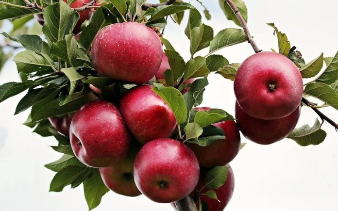 apple talls