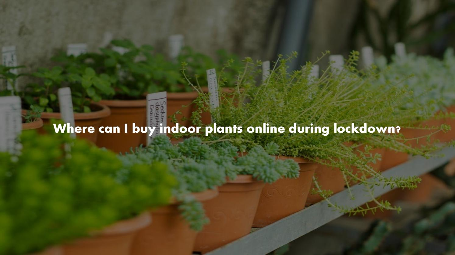 Where Can I Buy Indoor Plants Online During Lockdown By Sonia Bajaj Issuu