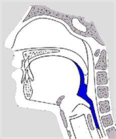 la phase pharyngée