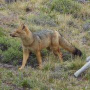 Très bel exemplaire de renard (culpeo ou zorro) de Patagonie
