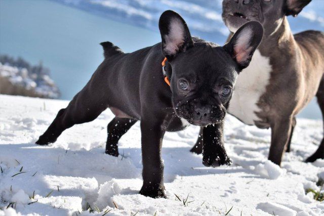 ingrown tail - gesunde-bulldoggen-coms webseite!
