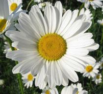 Цветок Ромашка Картинка Для Детей