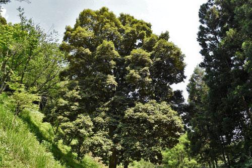 イチイガシ - 庭木図鑑 植木ペディア