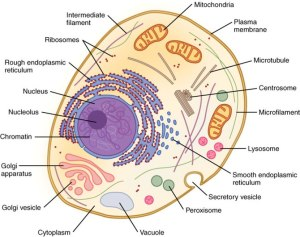 Animal Cell Parts and Functions  WithCarbon