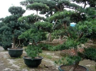 China Podocarpus Macrophyllus Bonsai China Bonsai