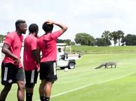 Тренировку канадских футболистов прервал вбежавший на поле аллигатор