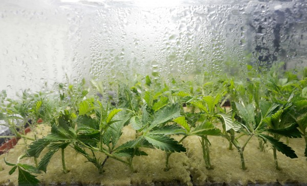 Marijuana clones grow at the Compassionate Sciences medical marijuana dispensary. 10/1/15 Bellmawr, NJ