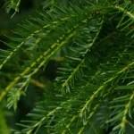 Tejo, árbol típico de la zona