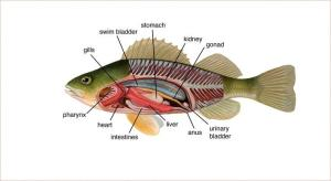 Anatomy of a yellow perch (Perca flavescens) | Plants and
