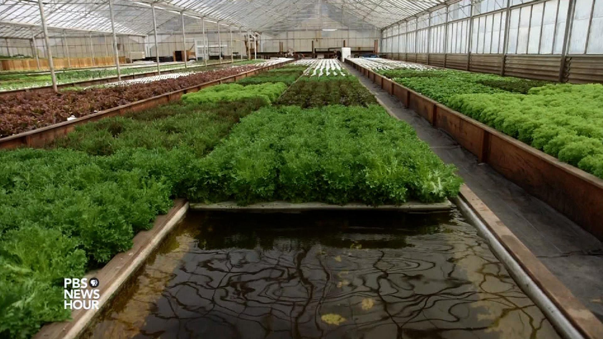 Aquaponic Farming Saves Water But Can It Feed The Country