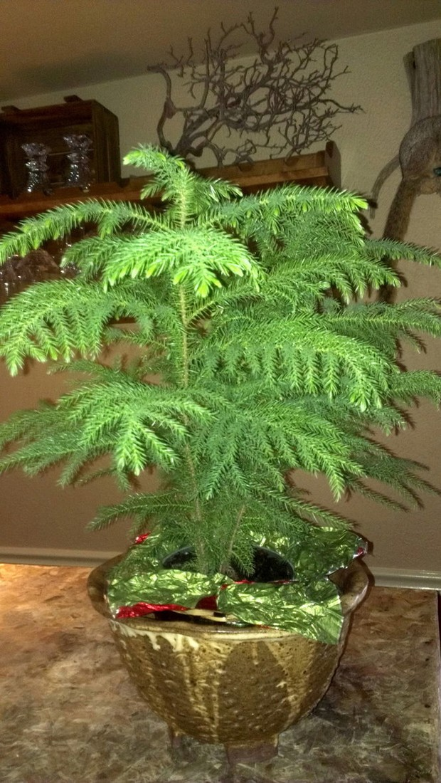 What To Do With A Too Big Norfolk Island Pine
