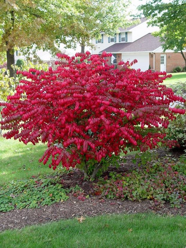 pruning burning bushes pennlive on Burning Bush Plant id=61340