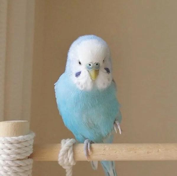 隻居住在日本的鸚鵡Sora或許就是不少少女夢想中的小鳥模樣!