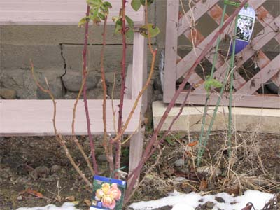 バラ 剪定の仕方 方法 冬
