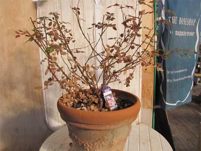 バラの剪定の仕方 鉢植え