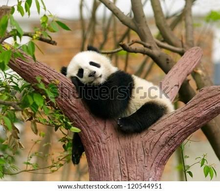 Sleeping giant panda baby - stock photo