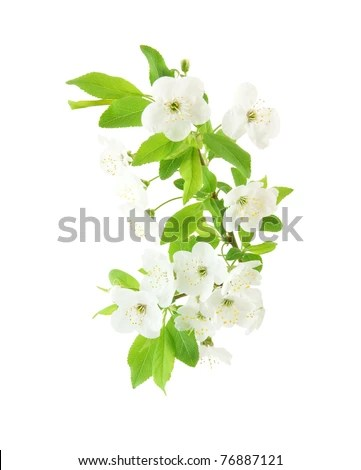 stock photo : Spring cherry blossom isolated on white