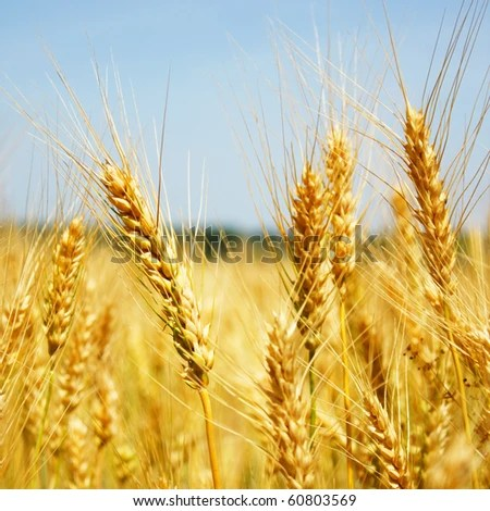 stock photo : wheat