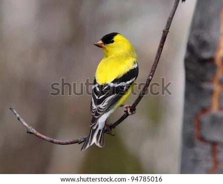 american goldfinch - stock photo
