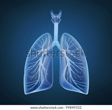Human lungs and bronchi in x-ray view - stock photo