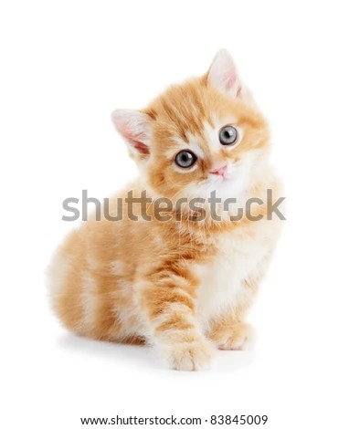 stock photo : One british shorthair red kitten cat isolated