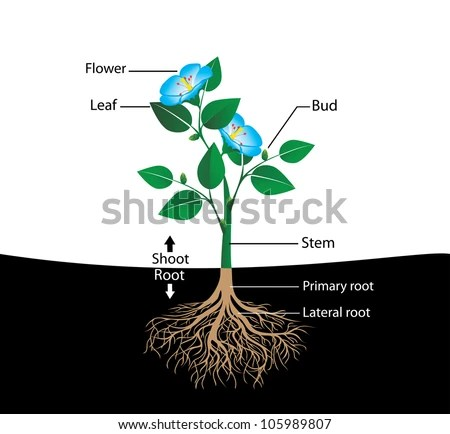 Diagram Of Flower With Roots Car Wiring Diagrams Explained