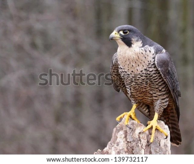 A Peregrine Falcon Falco Peregrinus Perched On A Stump These Birds Are The