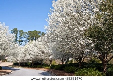stock photo : Blooming Bradford pear trees in the spring along a curve in a rural road