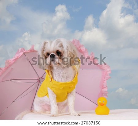 stock photo : Shih Tzu Puppy wearing a yellow slicker rain coat with a pink