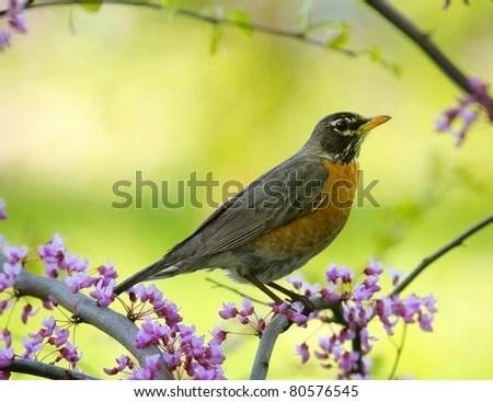 American robin sitting on a tree. - stock photo